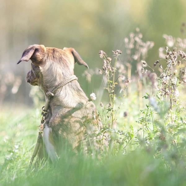Zugstopp Halsband mit Knoten-Stopp und Leine am Hund