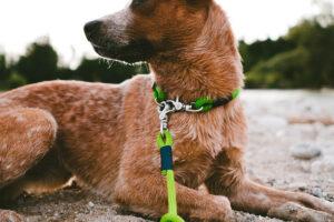 Cattle Dog mit Fester Halsung und verstellbarer Leine