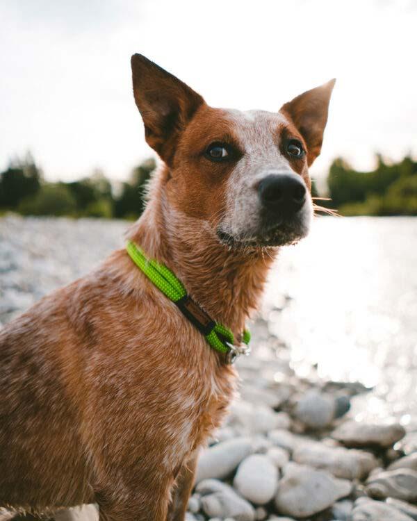 Cattle Dog mit Fester Halsung