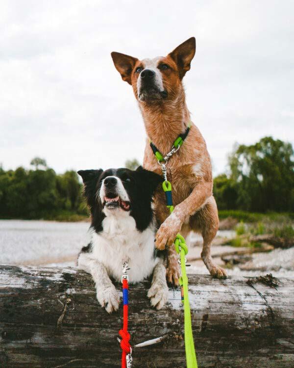 Cattle Dog und Border Collie mit Fester Halsung und Leine