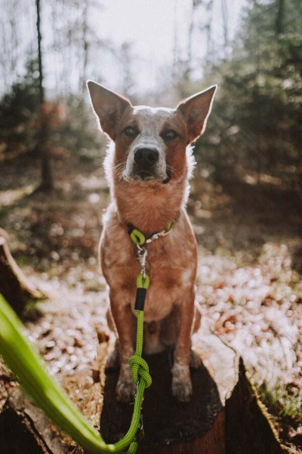 Cattle Dog mit Fester Halsung und Leine