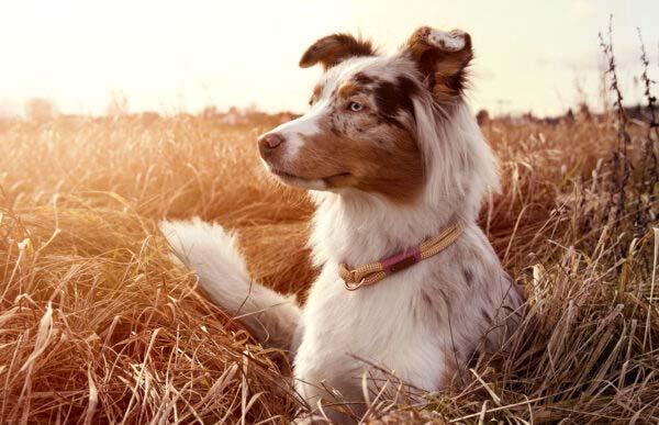 Schlupfhalsung am Hund (Aussie)