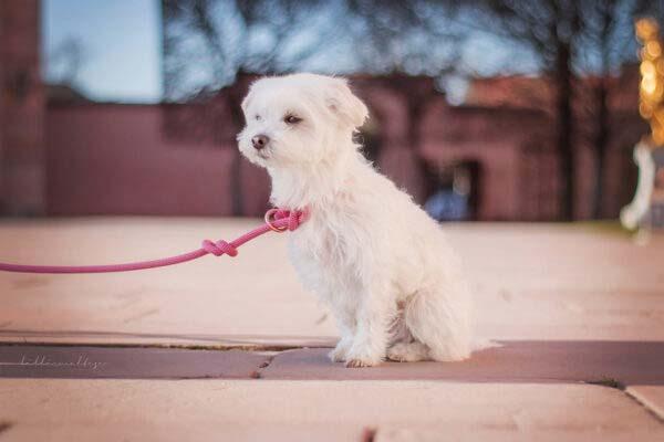 Retrieverleine an kleinem Hund