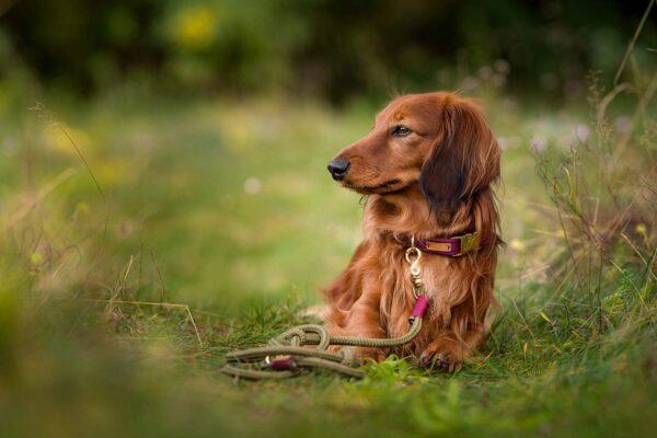 Burgunder-farbenes Softie mit Softtau Leine Olive Grove BURGUNDY - Am Langhaardackel