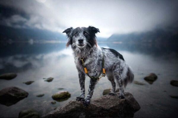 Leine Olive Grove GOLD am Hund