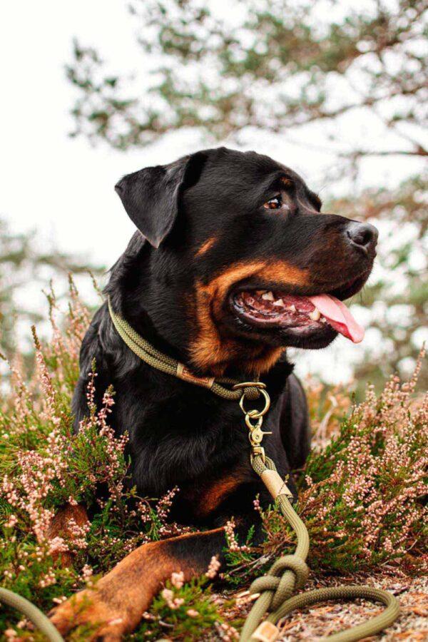 Zugstopp Halsband und verstellbare Leine Olive Grove GOLDNUGGET an Rottweiler Otto
