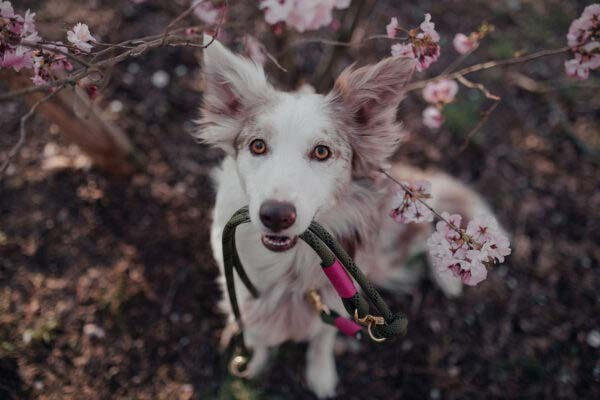 Border Collie mit Farbkombination Olive Grove WILDBERRY