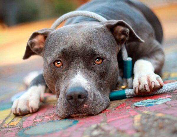 Retrieverleine Pebble Stone FIETE an Hund Nala