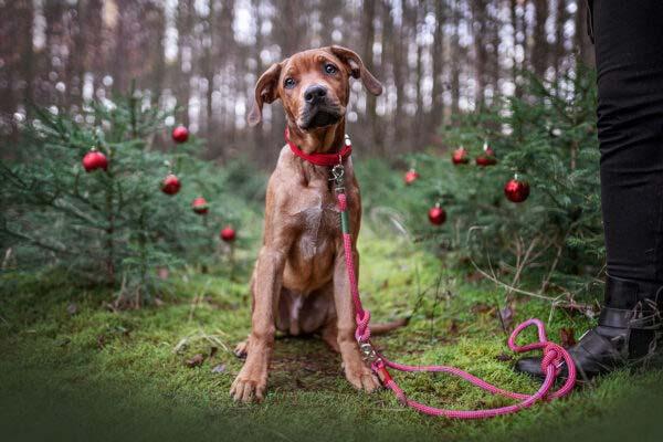 Hund mit rotem Halsband