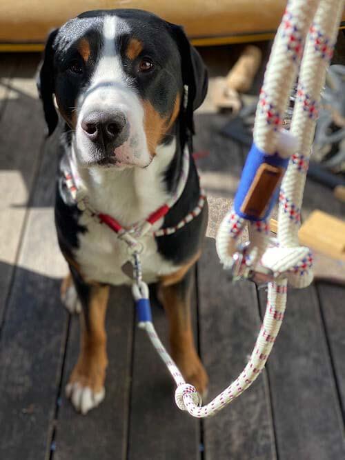 Großer Schweizer Sennenhund in arctic ligth ENZO