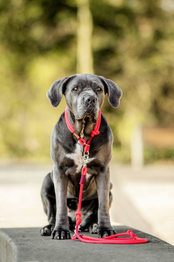Cane Corso Ruby mit Tauset pink lady LOVE