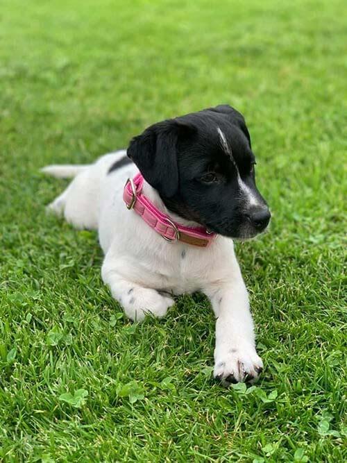 Jack Russel Terrier mit Softie ROSA (Größe S)
