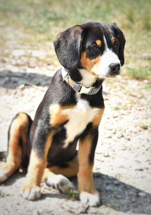 Entlebucher Sennenhund mit grauen Welpenhalsband